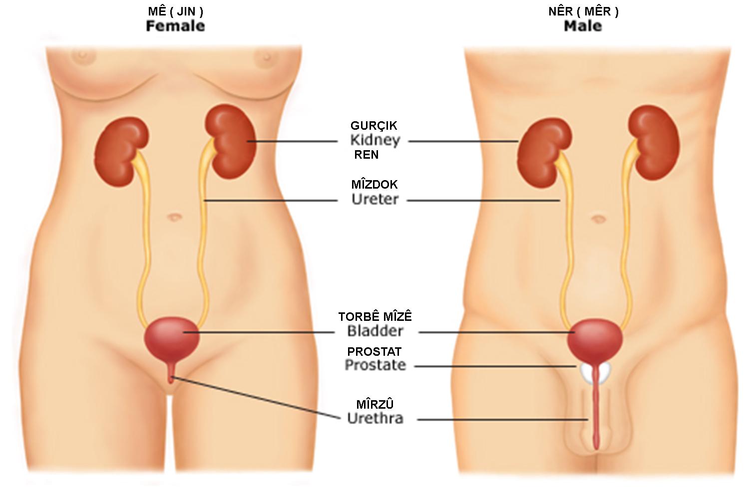 Секс мочевой канал 1 фотография